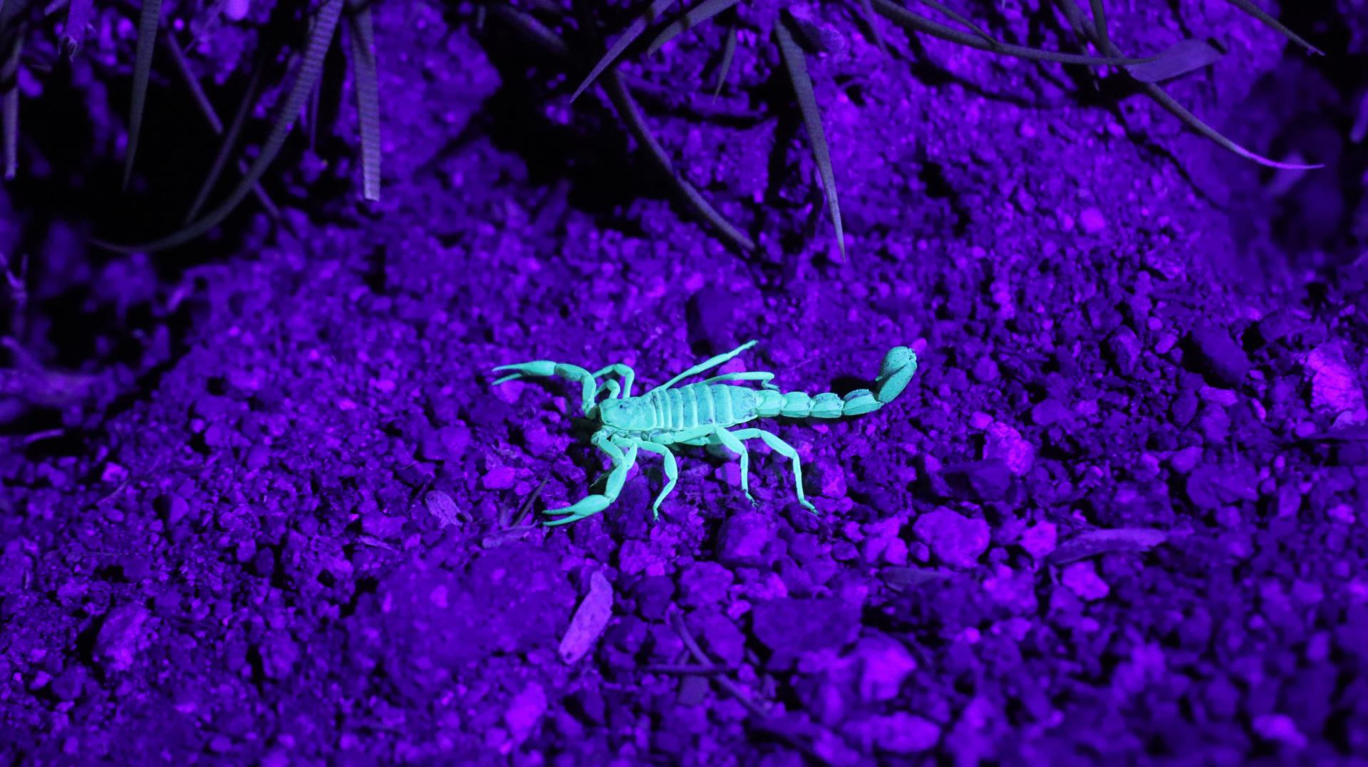 scorpion black light